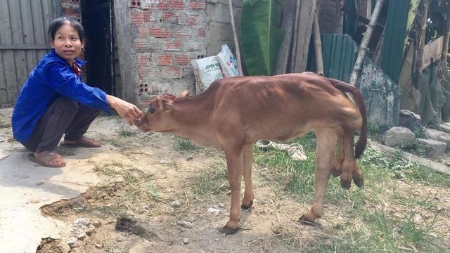 Nhiều người hiếu kỳ kéo đến xem bê con có 6 chân ở Hà Tĩnh