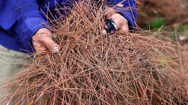 Nghệ An: Về nơi người dân đổ xô vào rừng nhặt thứ lá 'quý như vàng'