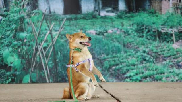 Vì sao chú chó Shiba được lựa chọn vào nhân vật ám ảnh nhiều thế hệ học sinh Việt Nam?