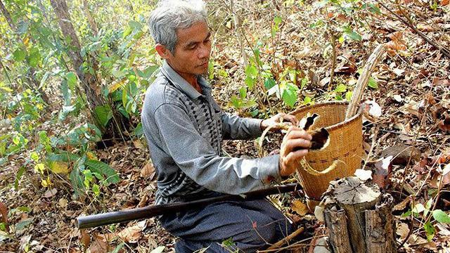 Săn dược liệu quý trong rừng khộp