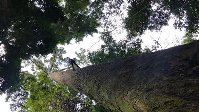 Cây nhiệt đới cao nhất thế giới cao 100,8 m, nặng 81,5 tấn