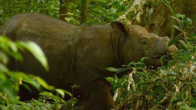 Xác nhận: Loài tê giác 2 sừng tại Malaysia đã chính thức tuyệt chủng