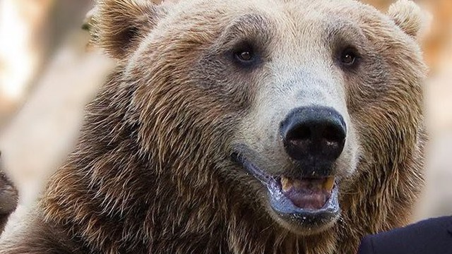 """Sự thật bất ngờ về biểu tượng """"gấu Nga"""": Thế giới có nhầm lẫn khi so sánh Nga với loài gấu?"""