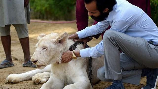 Mốt nuôi sư tử làm thú cưng của đại gia Pakistan