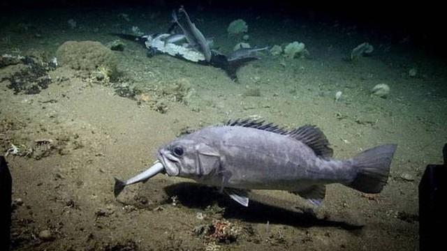 """Xem cảnh con cá mập xấu số bị một loài cá sống ở dưới đáy đại dương """"tiêu diệt"""" trong chớp nhoáng"""