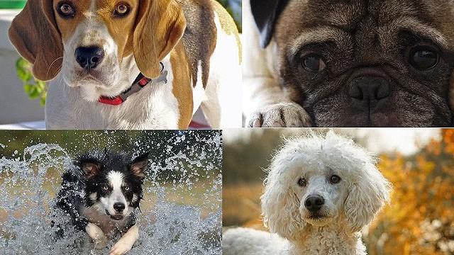 Top 10 giống chó thân thiện nhất thế giới