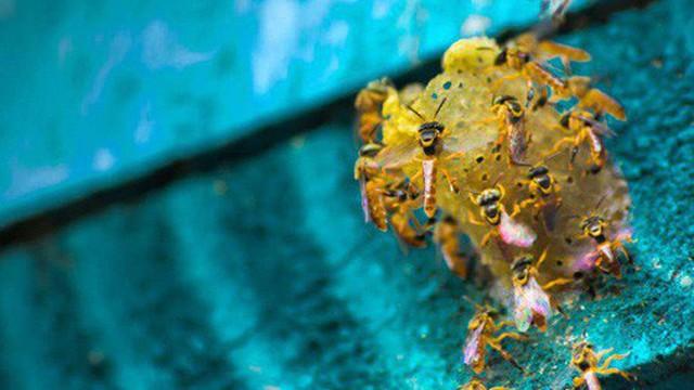Hơn NỬA TỶ con ong đã chết rụng xác ở Brazil: Bi kịch thực sự của loài ong, sắp bước vào giai đoạn tuyệt chủng