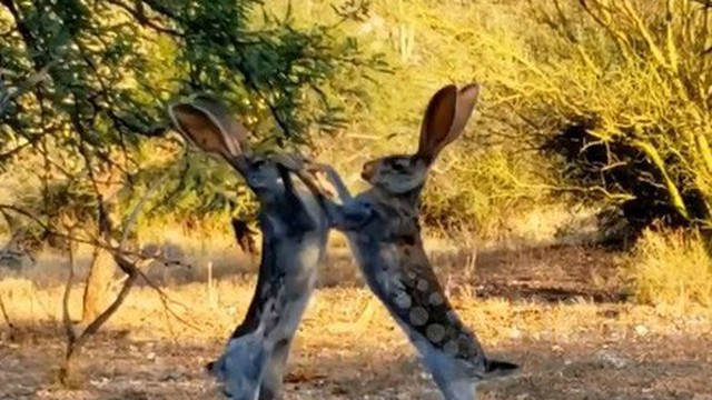 """Video: Cận cảnh trận """"so găng sinh tử"""" giữa hai chú thỏ"""