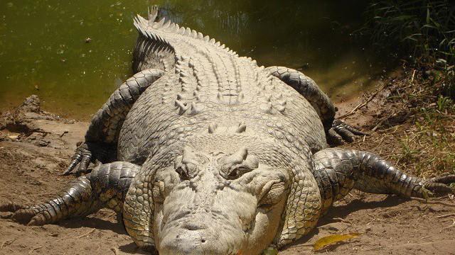 Những sự thật bất ngờ và thú vị về loài cá sấu