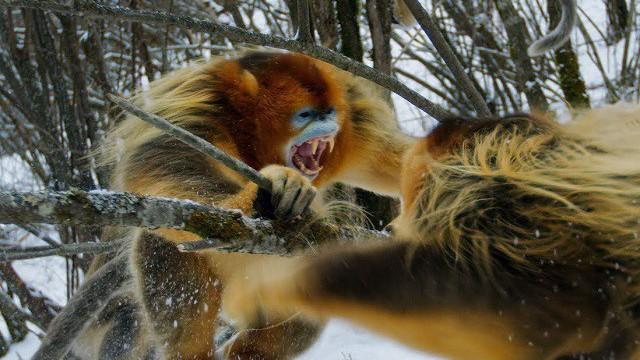 Trận chiến quyết liệt để tranh giành thức ăn của khỉ tuyết