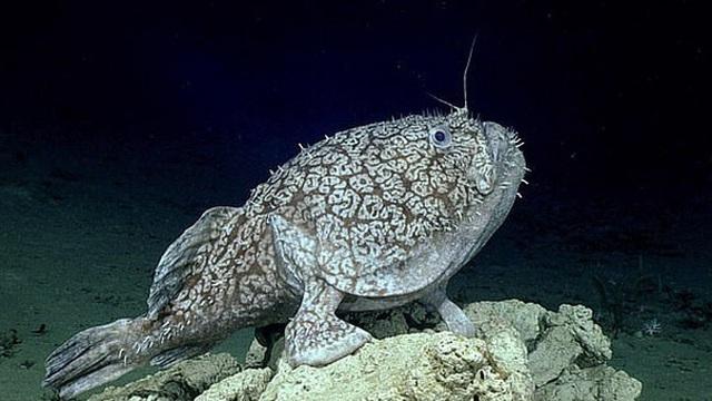 Dùng thiết bị lặn khám phá đáy đại dương tăm tối, tình cờ phát hiện loài cá kì lạ có thể đứng bằng 'chân'