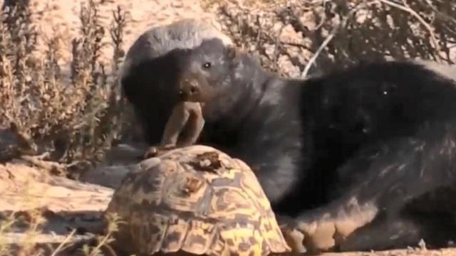 Video: Lửng mật ong 'trổ tài' ăn thịt rùa