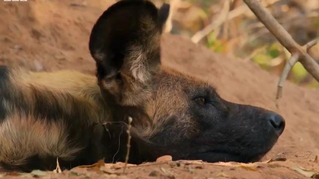 Video: Lửng mật gian manh rình rập định ăn thịt con non của chó hoang