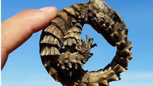 Thằn lằn có mai vảy - loài động vật kỳ lạ như những con rồng thu nhỏ