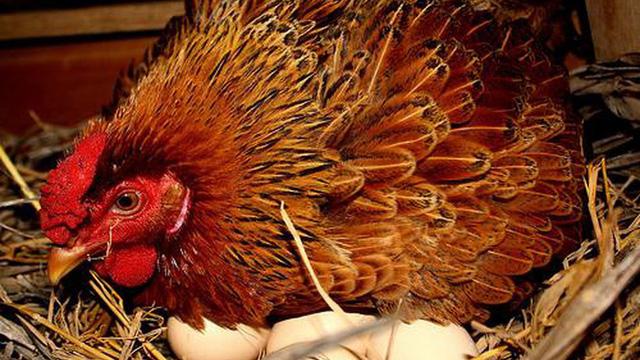 Thấy gà đẻ ra trứng vàng, vợ chồng lão nông vội đem con vật đi giết mà không biết đã đánh mất cơ hội tốt hơn