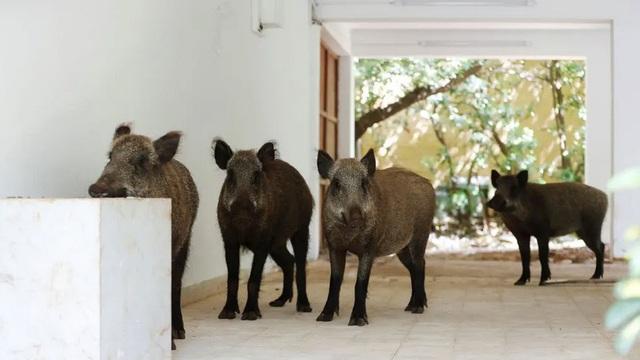 """7 ngày qua ảnh: Bầy lợn rừng """"đột nhập"""" vào khu dân cư"""