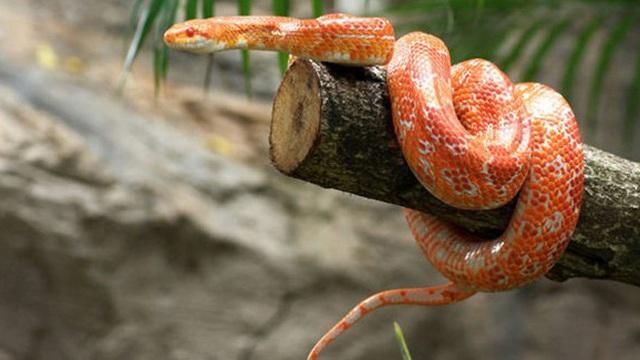 Bò theo cách ngược đời, đuôi đi trước đầu theo sau, con rắn gặp kết cục đủ đau để cảnh tỉnh nhiều người