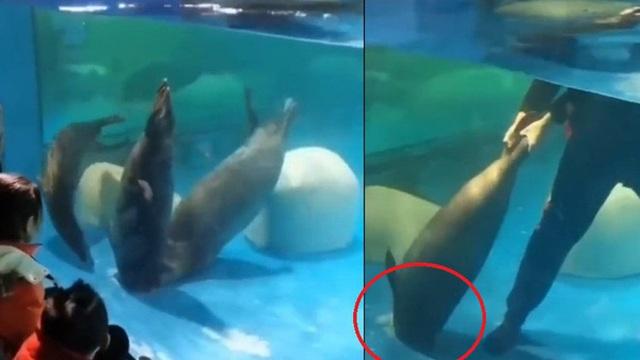 Táy máy mở nắp cống thoát nước, hải cẩu bị hút xuống rồi tử vong thương tâm trước mặt du khách