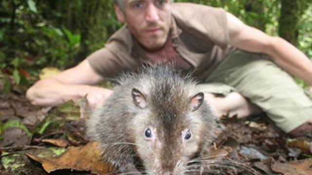 1001 thắc mắc: Loài chuột nào dài nhất thế giới?