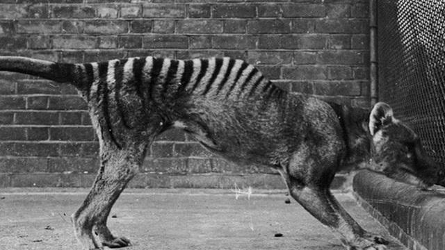Cứ ngỡ đã tuyệt chủng từ những năm 1930, nhưng có lẽ hổ Tasmania vẫn còn tồn tại đâu đó ngoài kia