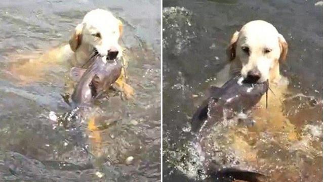 Chú chó trổ tài bắt cá trê siêu đẳng nhưng lại để hụt đáng tiếc