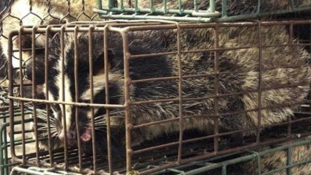 Thêm một loài vật bị nghi là thủ phạm lây truyền virus Corona sang người ở Vũ Hán