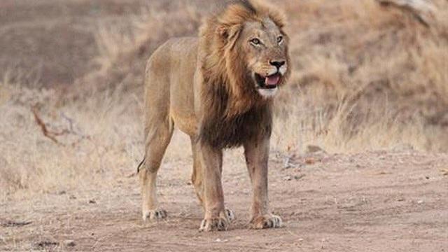 Sư tử đực 'dằn mặt' cá sấu để bảo vệ đàn
