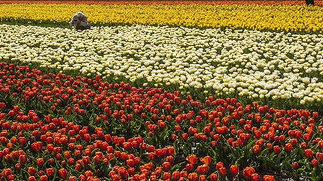 Keukenhof - Thiên đường của các loài hoa