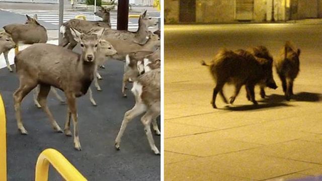 Người dân ở nhà né dịch, anh em động vật hoang dã bèn kéo nhau vào thành phố chơi cho biết