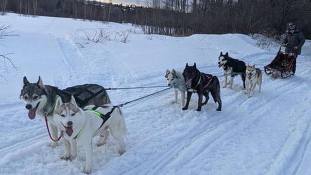 Cô gái sử dụng đàn chó kéo xe trượt tuyết để giao hàng cho người cao tuổi, giúp họ khỏi phải ra ngoài mua sắm