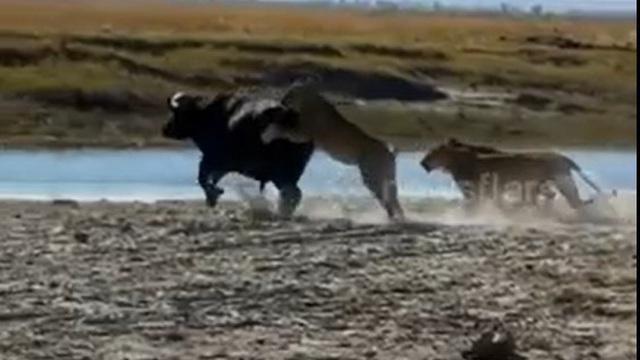 Đàn sư tử phải trả giá đắt khi nhất quyết đu bám, đòi hạ gục trâu rừng to lớn
