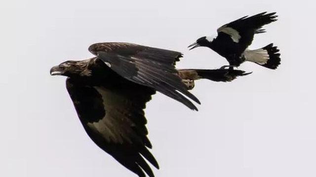 Khoảnh khắc chim ác là bé nhỏ ngang nhiên cưỡi đại bàng cực ấn tượng được ghi lại qua ống kính của nhiếp ảnh gia nghiệp dư