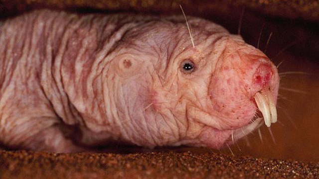 1001 thắc mắc: Loài chuột nào trông kinh dị mà lại miễn dịch với các chứng ung thư?