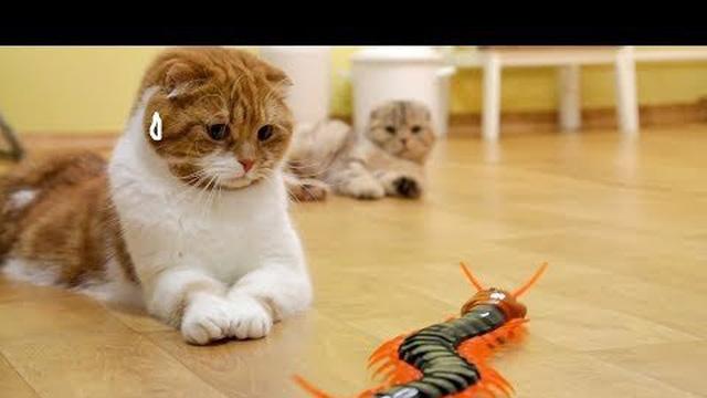 Clip: Phản ứng đáng yêu của boss mèo, trước con rết khổng lồ