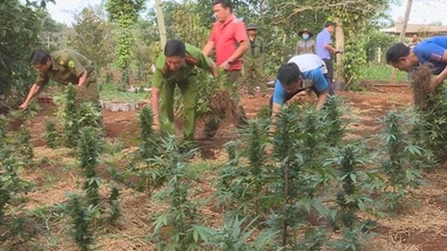 Hai chị em ruột trồng hàng nghìn cây cần sa trong rẫy vắng
