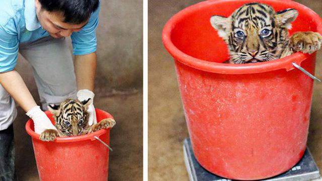 """Nhân viên chăm sóc động vật chia sẻ trăm phương ngàn kế hết sức đáng yêu để có thể """"cân"""" các bé động vật sơ sinh"""