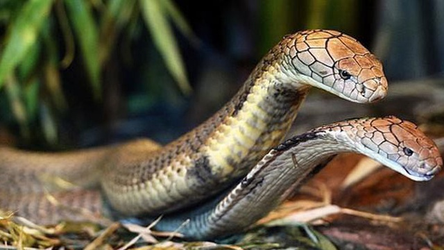 1001 thắc mắc: Loài rắn sát thủ nào biết rung chuông?