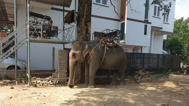 Vụ voi nhà quật chết người: Chấn chỉnh dịch vụ cưỡi voi
