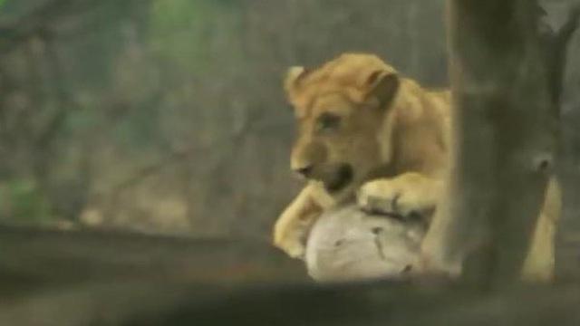 """Clip: Bị trâu rừng bất ngờ phản công, sư tử hoảng hốt trèo lên cây """"lánh nạn"""""""