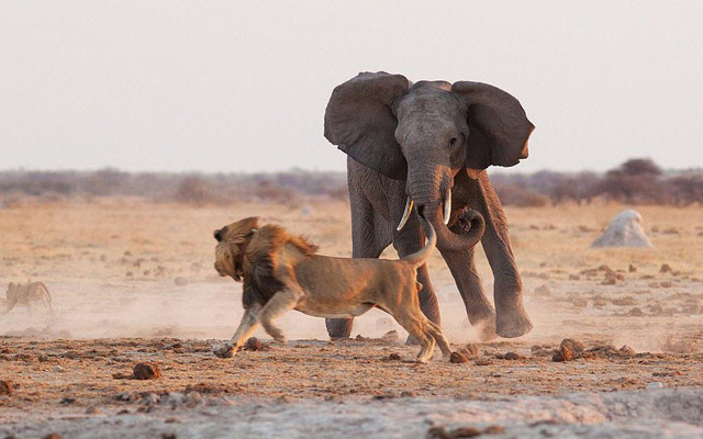 """24h qua ảnh: Voi truy đuổi sư tử chạy """"toé khói"""""""