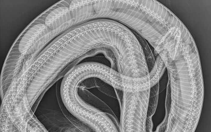 Trăn thảm bị ô tô đâm chết, chụp X-quang phát hiện điều bất ngờ