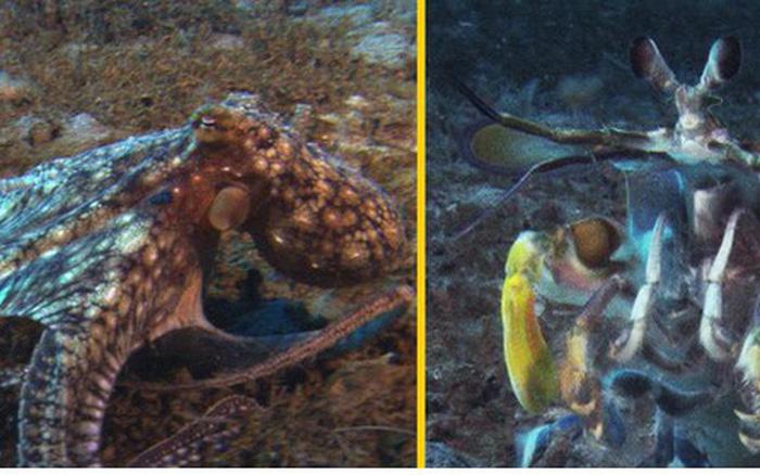 """Cuộc đọ sức """"một 9 một 10"""" giữa bạch tuộc và bề bề"""