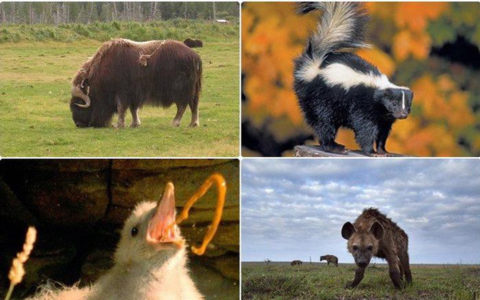 1001 thắc mắc: Những loài động vật nào bốc mùi đáng sợ nhất thế giới?