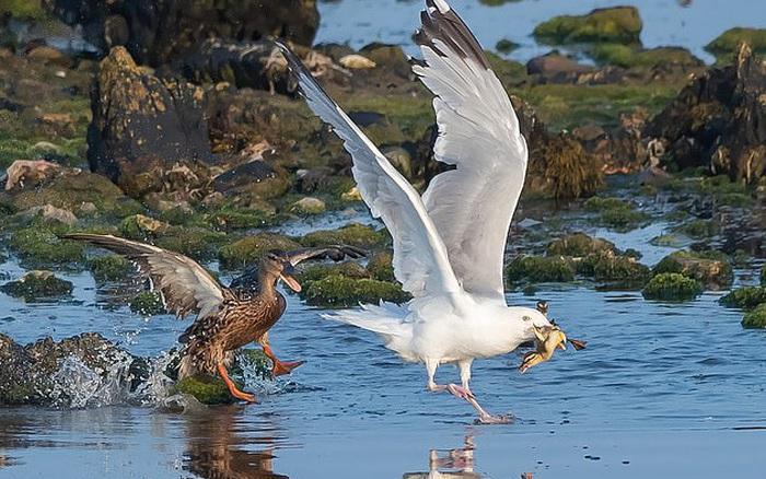 Chim biển khát máu sà xuống cướp vịt con, vịt mẹ chống trả đến cùng
