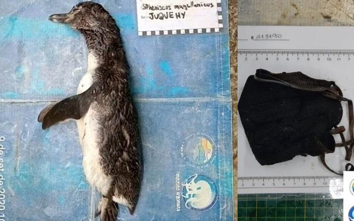 Mổ bụng xác chim cánh cụt dạt bờ, phát hiện nguyên nhân chết đau lòng