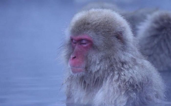 """Khoảnh khắc """"thư thái"""" của khỉ tuyết khi ngâm mình trong suối nước nóng"""