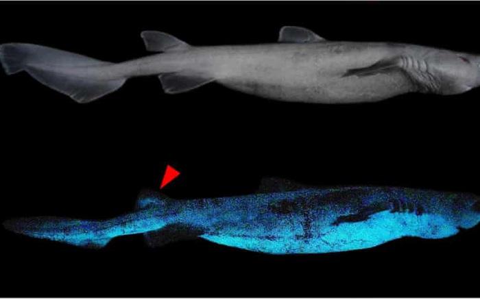 Phát hiện 3 loài cá mập phát sáng dưới biển sâu