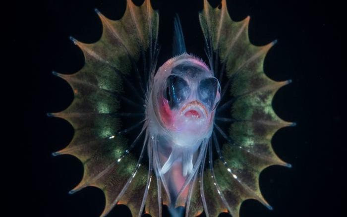 """Con ấu trùng nhỏ xíu mà trông như """"thủy quái"""" gớm ghiếc - Đúng là thế giới sinh vật trong lòng đại dương kỳ bí hơn chúng ta tưởng"""
