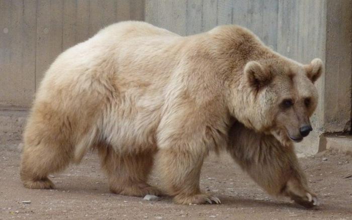 Gấu nâu - trắng cực hiếm: Kết quả của 'cuộc tình ngang trái' xuyên địa lý trong bối cảnh biến đổi khí hậu toàn cầu