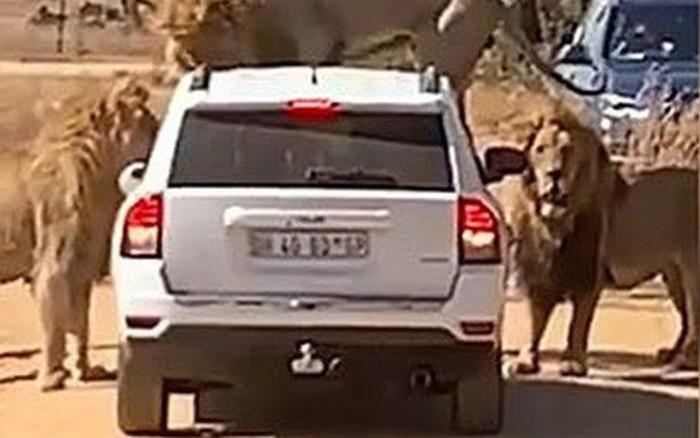 """Du khách méo mặt, bất đắc dĩ """"đi chung"""" xe với sư tử đực"""